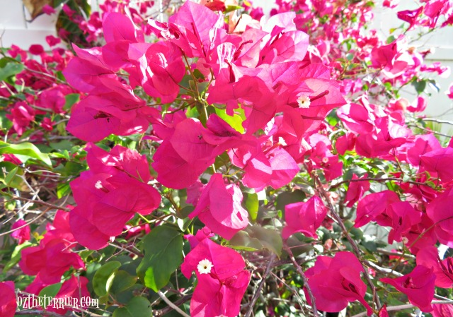 pink bougainvillea in oz yard