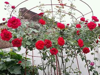 hồng hải phòng