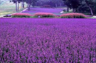 Foto Bunga Lavender Ungu yang Indah 3