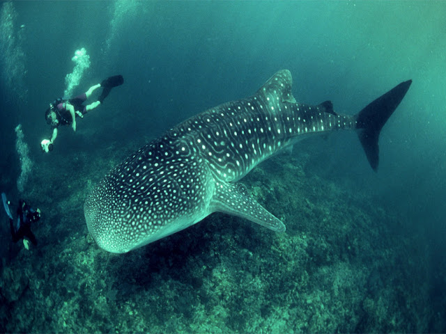 whale shark wallaper HD