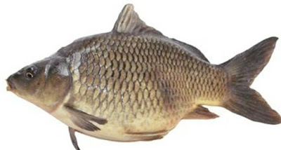 Rahasia Umpan Ikan Mas Putih Yang Sudah Terbukti Hasilnya