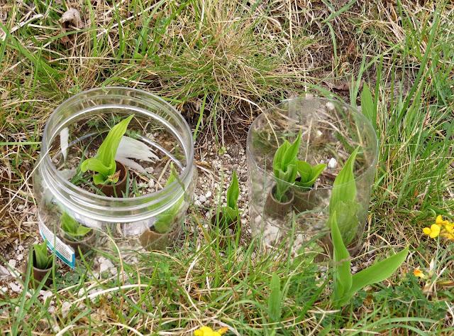 Lady's Slipper Orchid seedlings - Gait Barrows, Cumbria