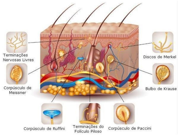 estruturas sensoriais encontradas na pele humana