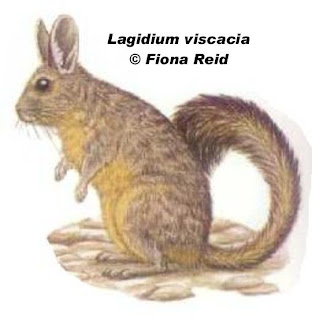 CHinchillón Lagidium viscacia