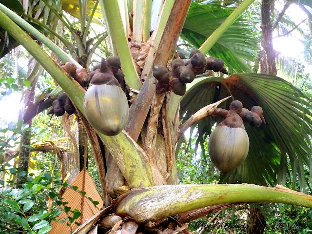 coco de mer seychelles