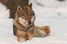 ماذا تعرف عن الذئب الرمادى Canis lupus- Gray Wolf
