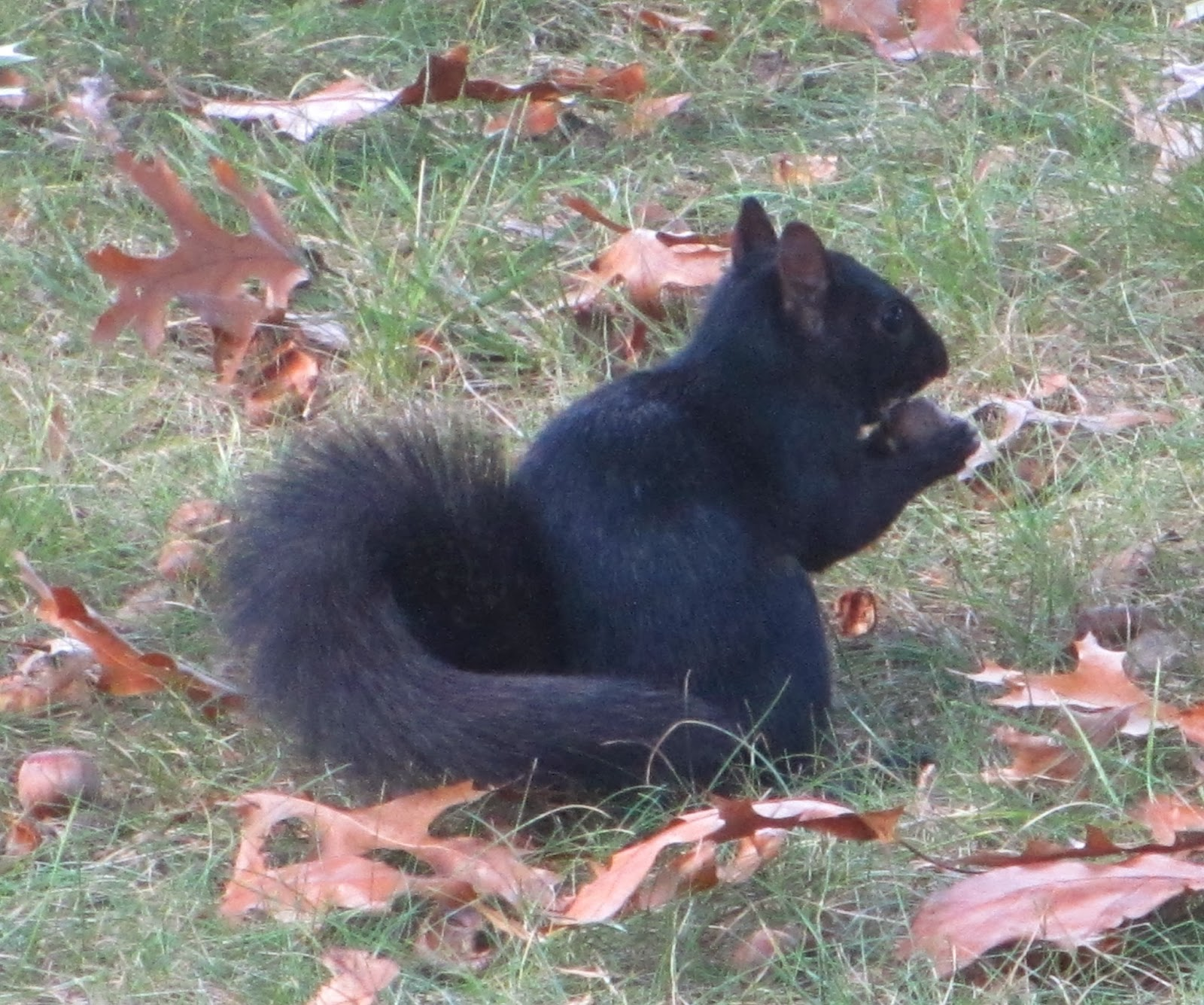Black squirrel in Charleston, West Virginia