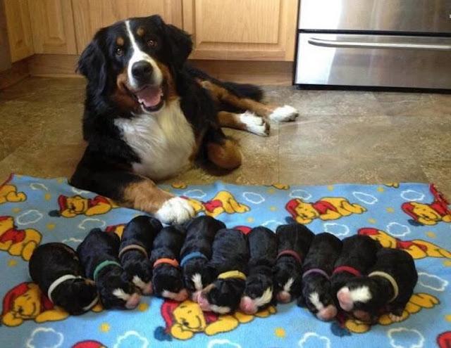 Chó con ngộ độc sữa mẹ