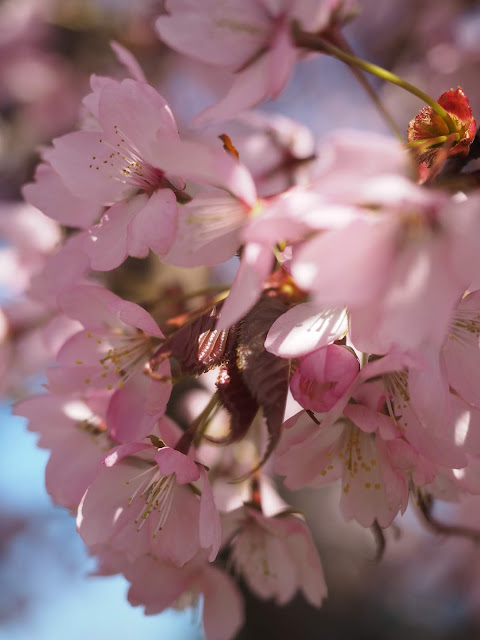 CherryBlossomsCT4U.jpg