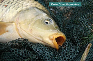 Essen Umpan Ikan Mas