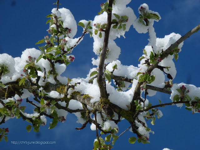 Apfelbaum Äste mit Schnee - 27.04.16