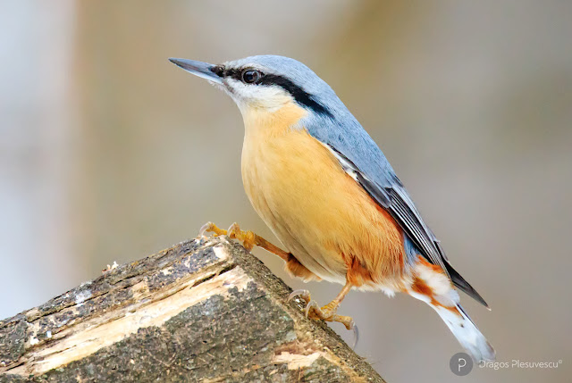 Eurasian nuthatch or Wood nuthatch (Sitta europaea // Țiclean)