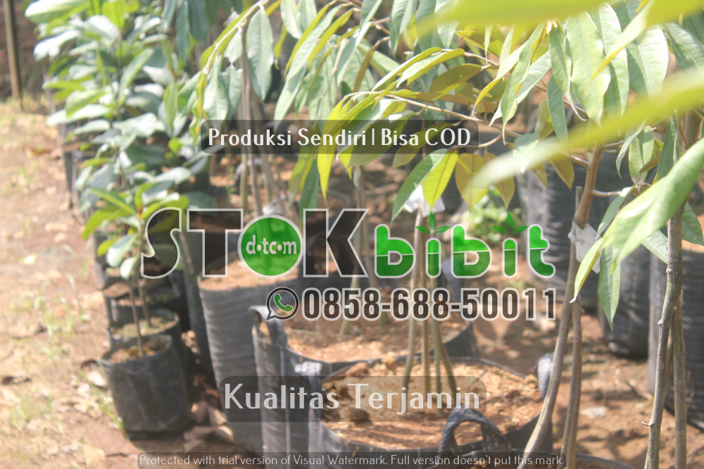 Durian Musang King Kaki 3 dan Keunggulan Musangking Kaki 3    Grosir     terjamin
