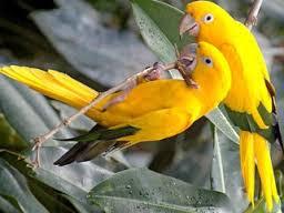 Cara Membedakan Ciri-ciri Burung Lovebird Jantan dan Betina