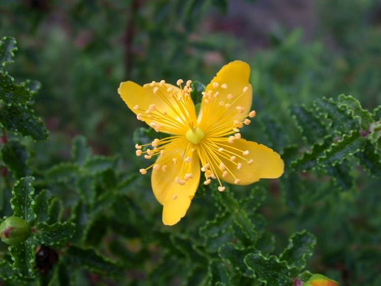 Hypericum balearicum (endemismo balear)
