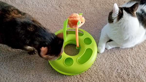 image of Sophie the Torbie Cat and Olivia the White Farm Cat near the new toy
