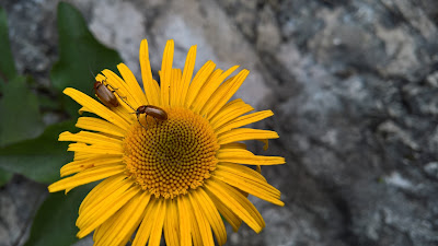 Beetles on a flower
