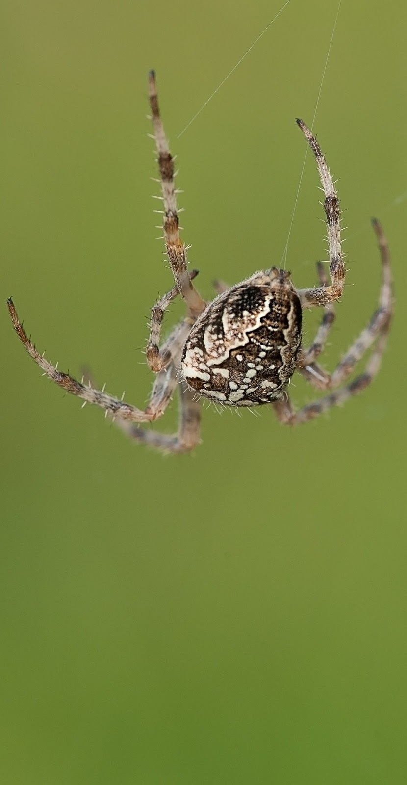 Picture of a spider hanging from it's web.