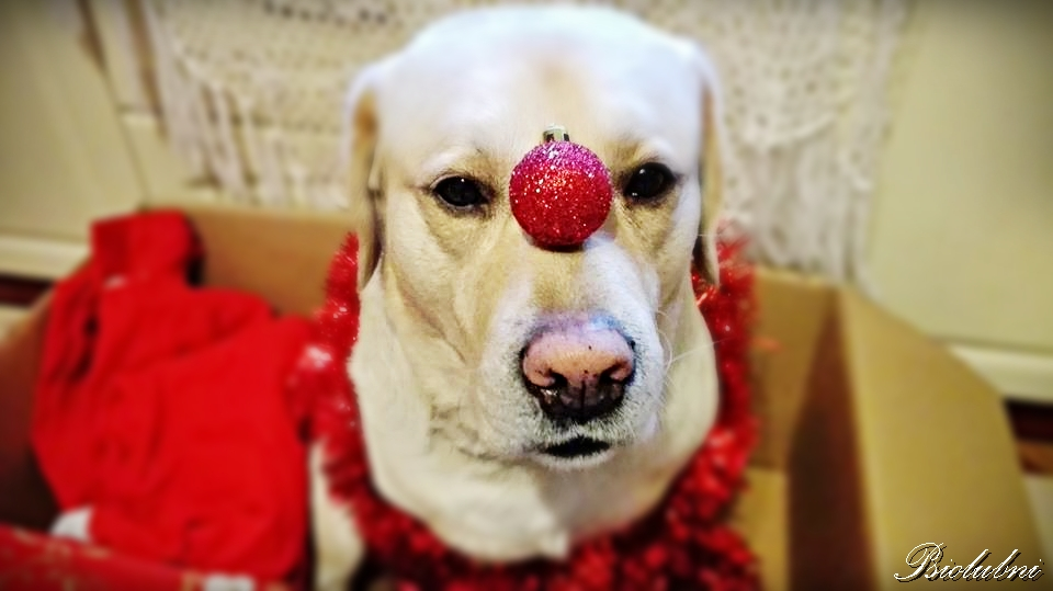 Nie kupuj psa jako prezent, wigilia, boże narodzenie, święta, choinka, pies, prezent,