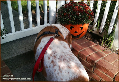 Dog Valentino Sniffs A Pumpkin Flower Pot