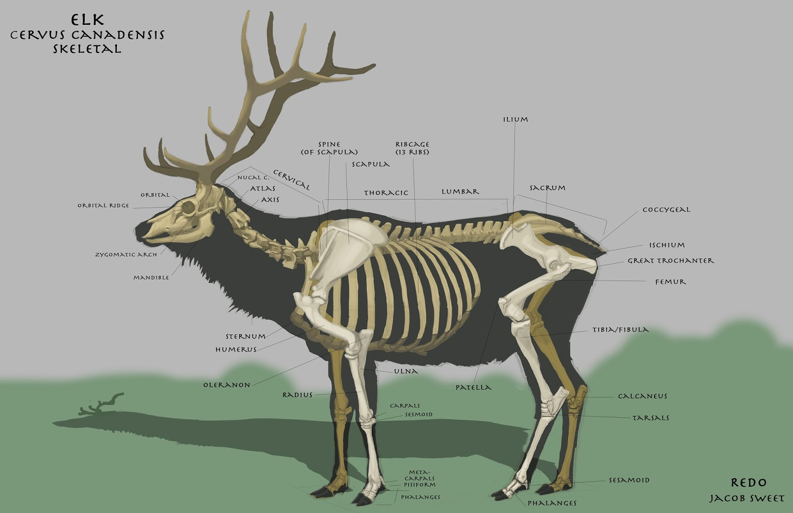 elk anatomy diagram 2001 bmw 325i belt elbow hit