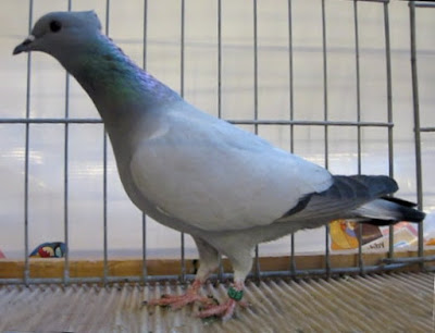 berne swiss pigeons - color pigeons
