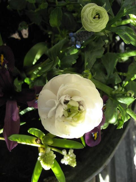 Ideer til hvit vårblomstring i krukker - Ranunkler