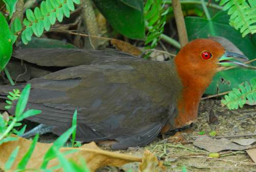 Birds of India - Slaty-legged crake - Rallina eurizonoides