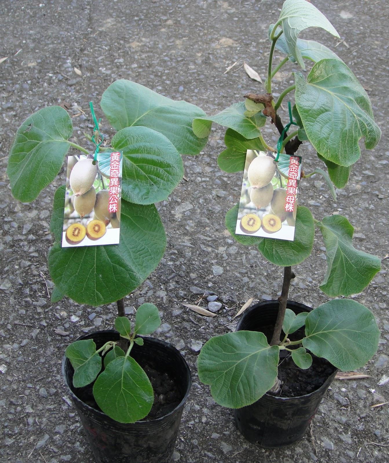 這是小明的部落格: 黃金奇異果樹苗