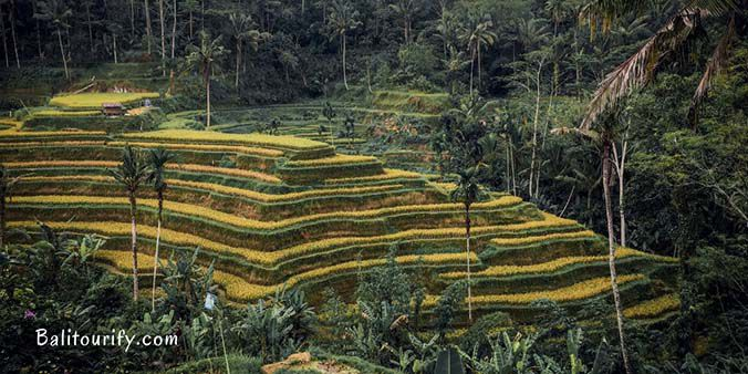 Tegalalang Rice Terrace, Full Day Ubud - Tanah Lot Temple Bali Sunset Tour, Bali one day trips