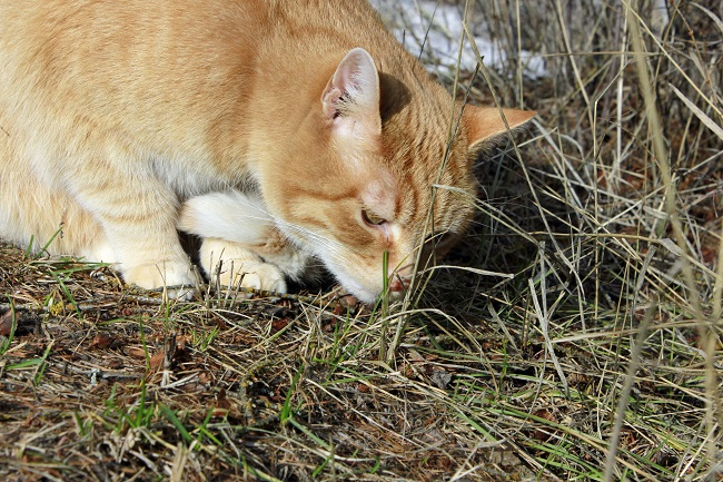 Orange tabby cat sniffing grass