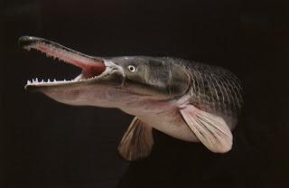 5 Besar Ikan Purba yang Masih Ada di Dunia