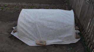 Высадил лук ЭКСИБИШЕН под укрытие, конец апреля