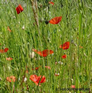 Bloemenweide aanleggen door grond te verarmen betekent aangepast maaibeheer en dus het maaisel afvoeren, bloemrijke weide, bloemrijk gazon, bloemenmengsel, arme grond
