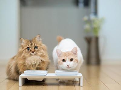por que no debemos ponerle el agua cerca a la comida del gato... gatos en el libro gordo de la vida