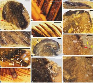 Εξαφανισμένα προϊστορικά πουλιά βρέθηκαν άθικτα σε κεχριμπάρι