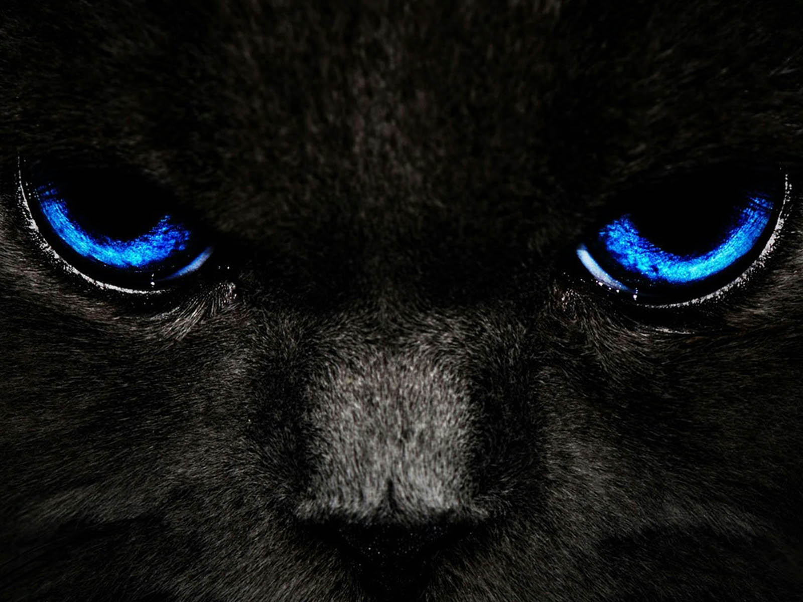 Black Cat Eyes Wallpaper: Wallpapers: Black Cat Blue Eyes
