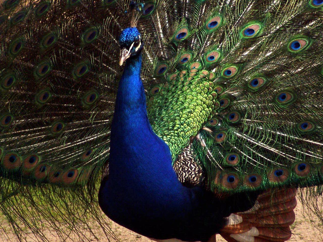 Peacock blue wallpaper  Funny Animal - photo#1