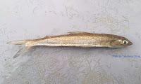Brushtooth Lizardfish
