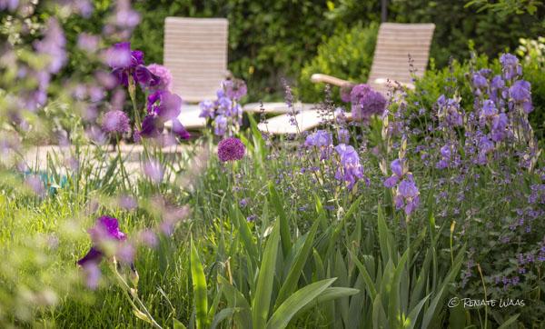 Allium Zierlauch in größeren Mengen gepflanzt garantiert ein prachtvolles Blumenbeet im Mai und Juni