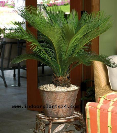 Cycas Revoluta JAPANESE SAGO PALM image
