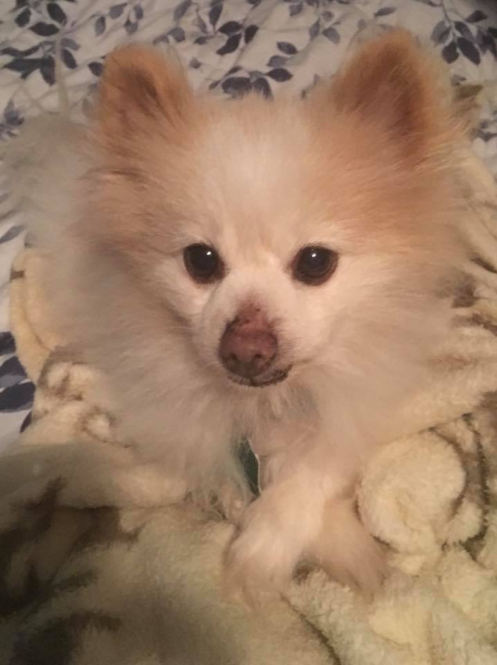 Natural Remedies Help Pomeranian With Collapsed Trachea Holistic