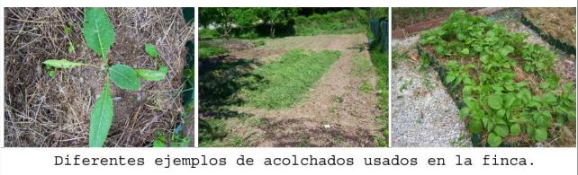 Ejemplos de acolchados vegetales aplicados en nuestros huertos. Asturias.