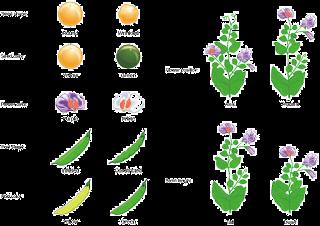 Perbedaan yang menonjol pada varietas kacang ercis