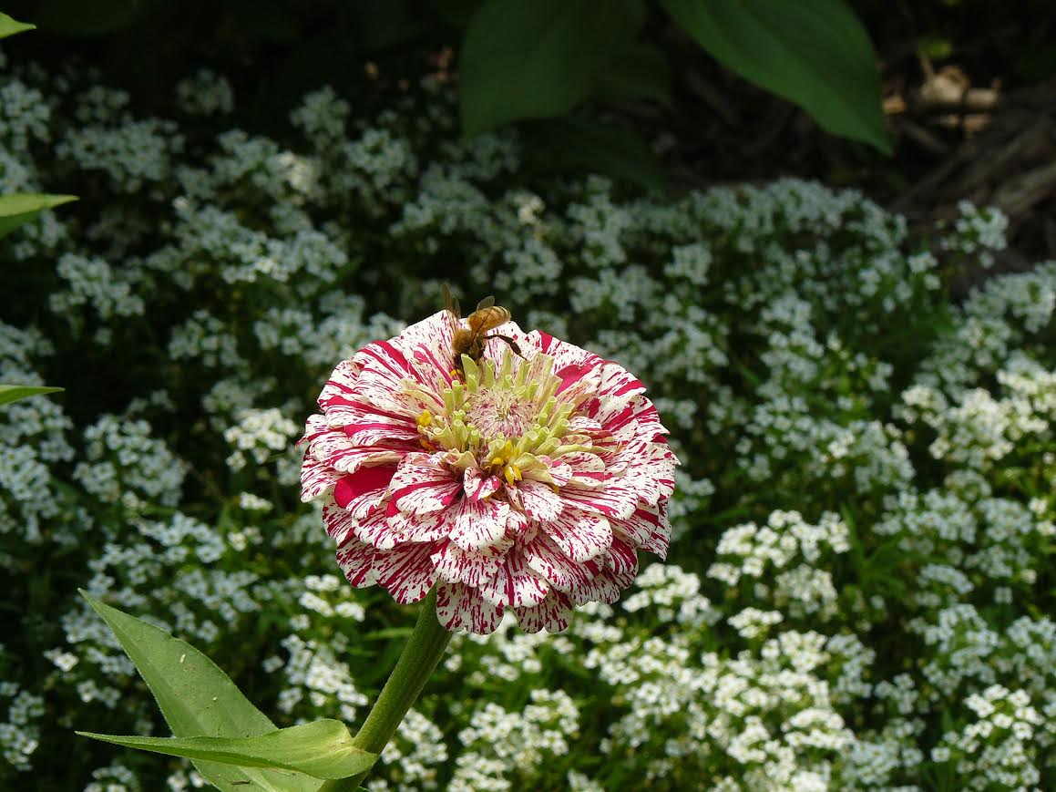 Want to help pollinators try these annuals and native grasses honeybee on zinnia flower izmirmasajfo