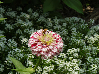 Honeybee on zinnia flower