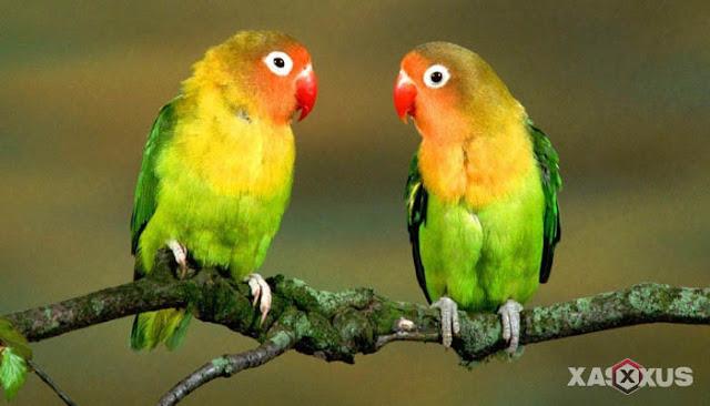 16 Cara Membedakan Lovebird Jantan dan Betina Dengan Akurat
