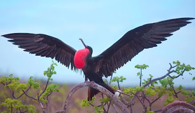 Frigatebird - Animals That Start With Letter F