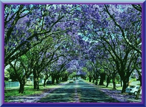 Jacaranda Tree Of Angelic Beauty