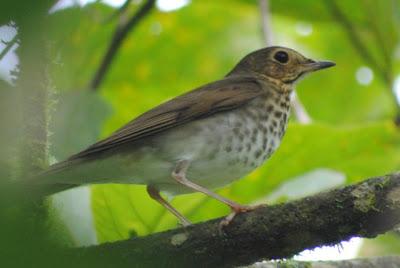 aves de la argentina nativa Zorzalito boreal Catharus ustulatus